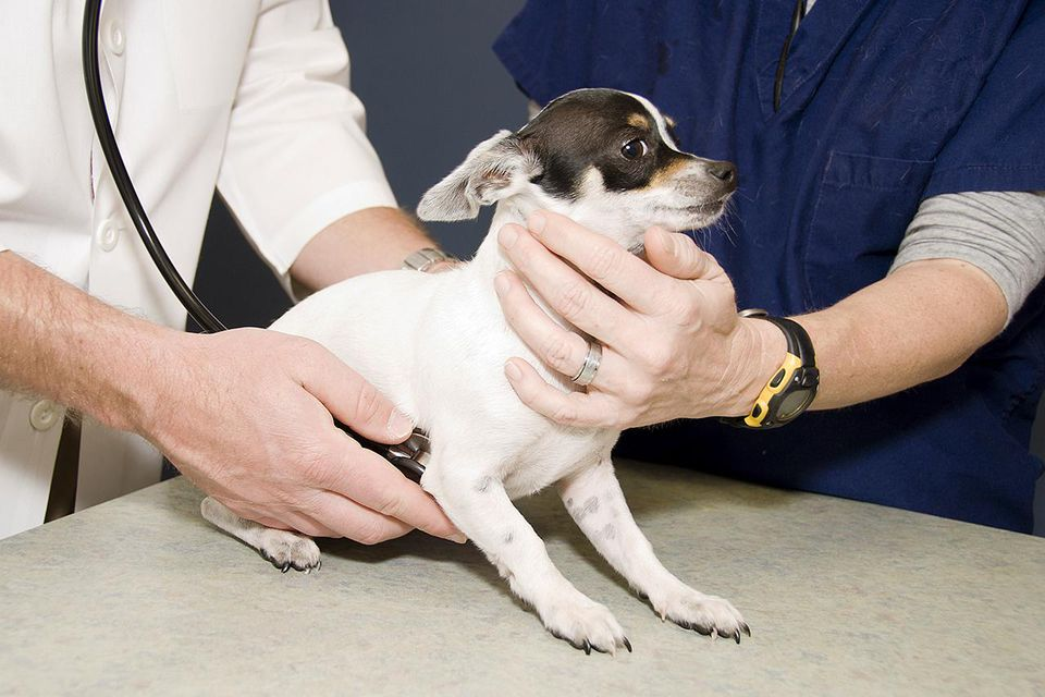 A chihuahua puppy being examined by a veterinarian