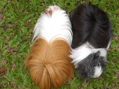 Peruvian Guinea Pigs - Brownie and Ash