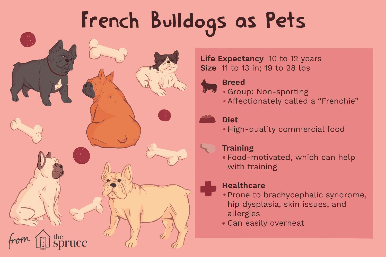 bulldogs franceses como ilustración de mascotas