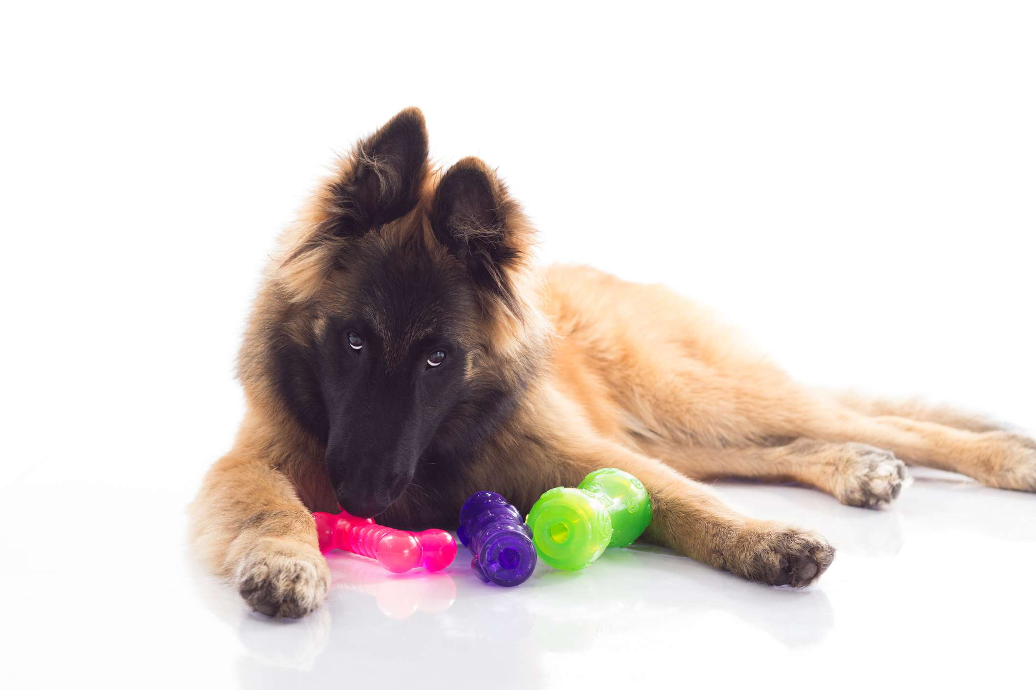 Belgian Tervuren puppy with toys in front of white background.