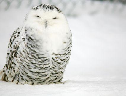 Snowy owl (Bubo scandiacus).