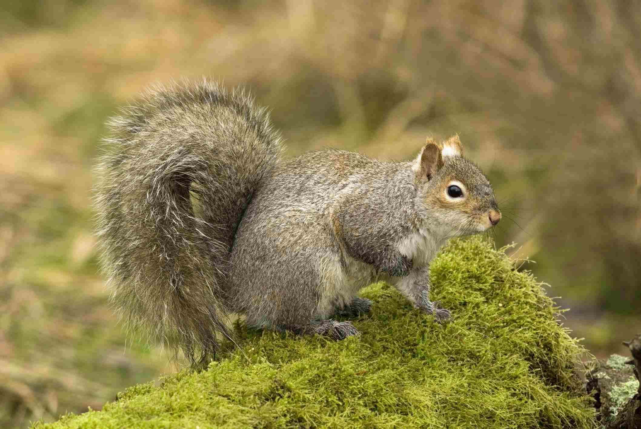 Squirrel sitting on a mossy log outside.