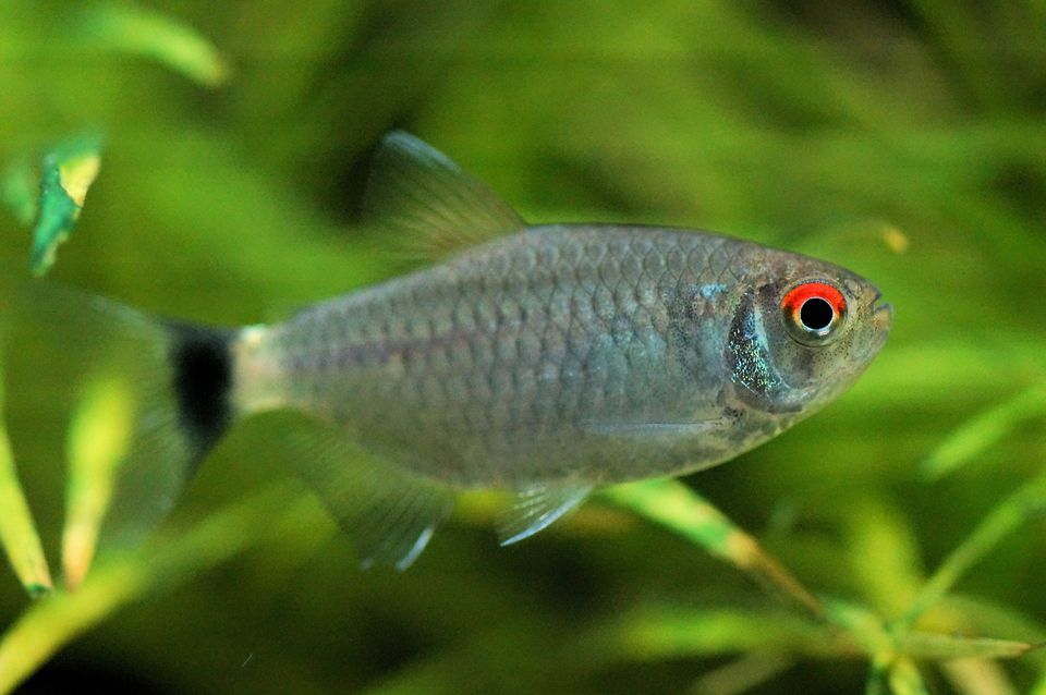 Red Eye Tetra - Moenkhausia sanctaefilomenae
