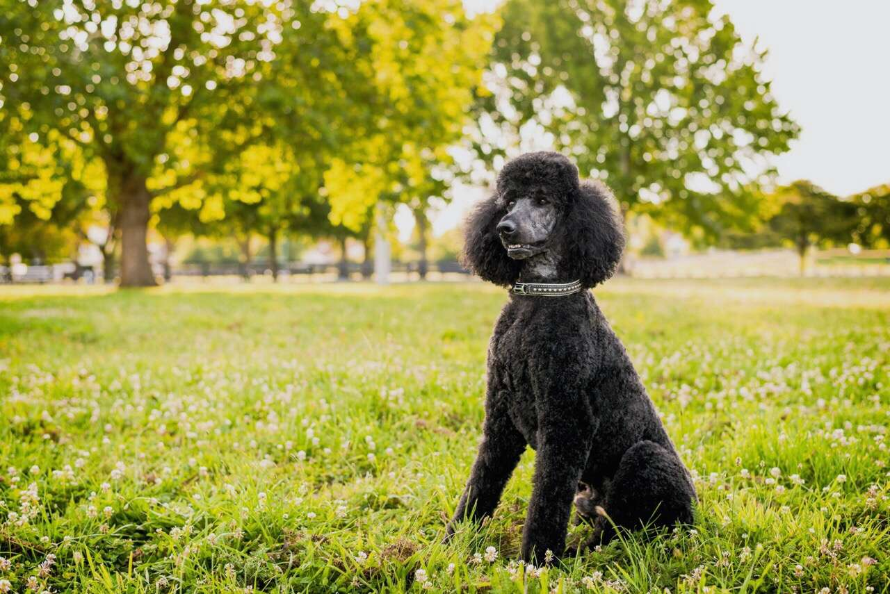 A black poodle sitting in the grass at the park.