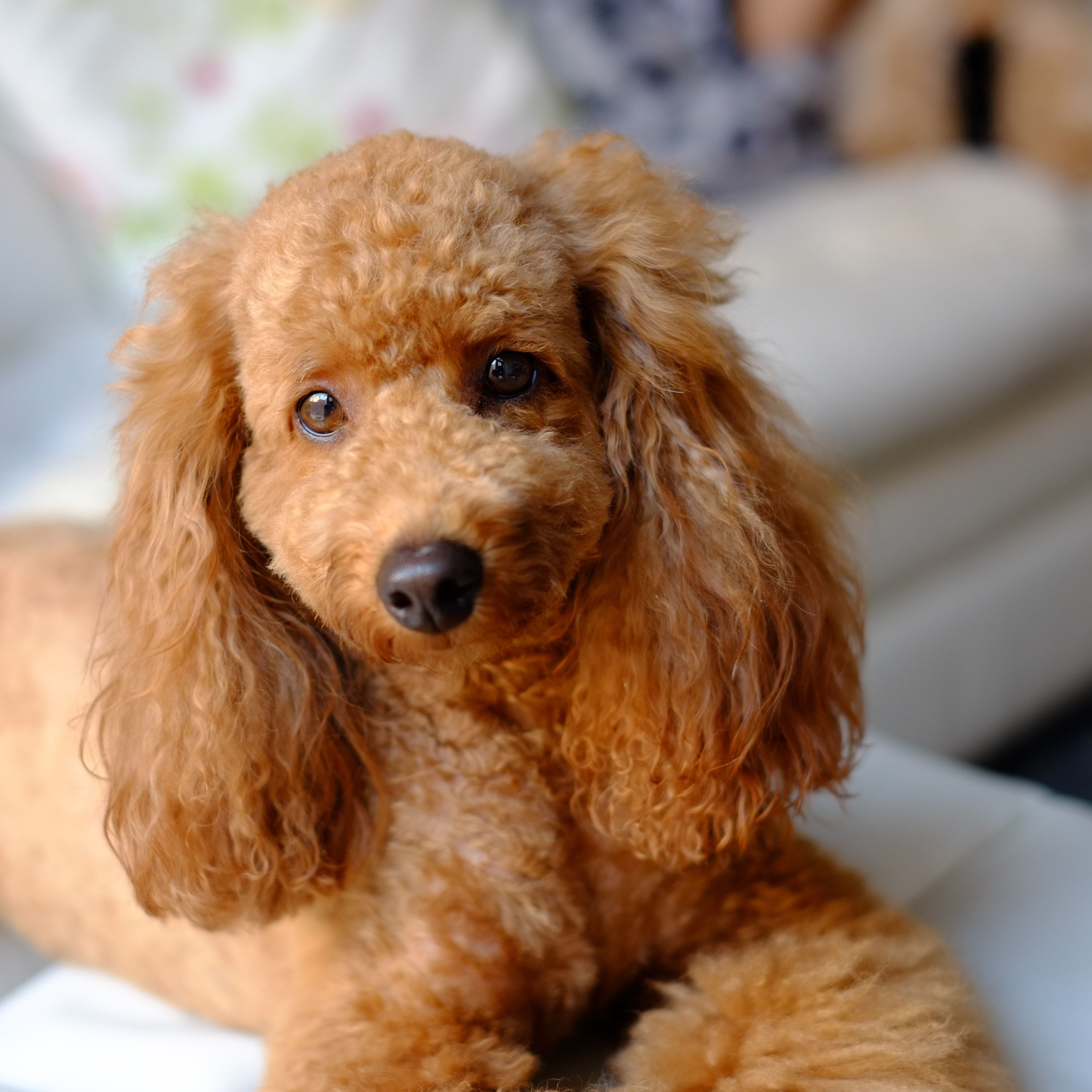 70 Cute And Classy Poodle Names