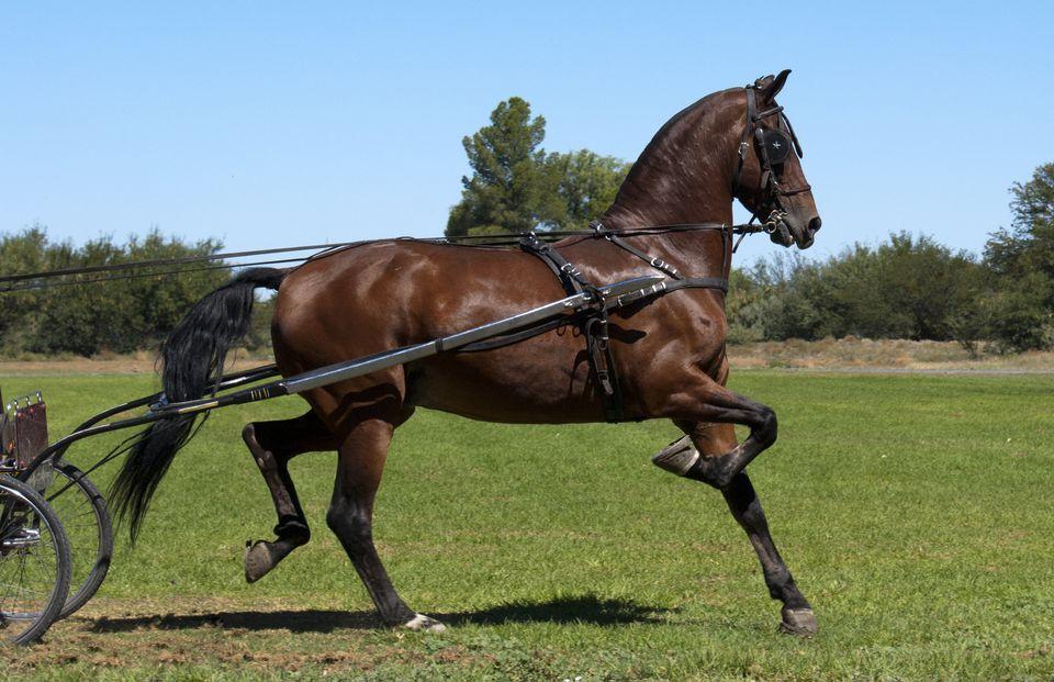 Bay Saddlebred conducido en un espectáculo de caballos.