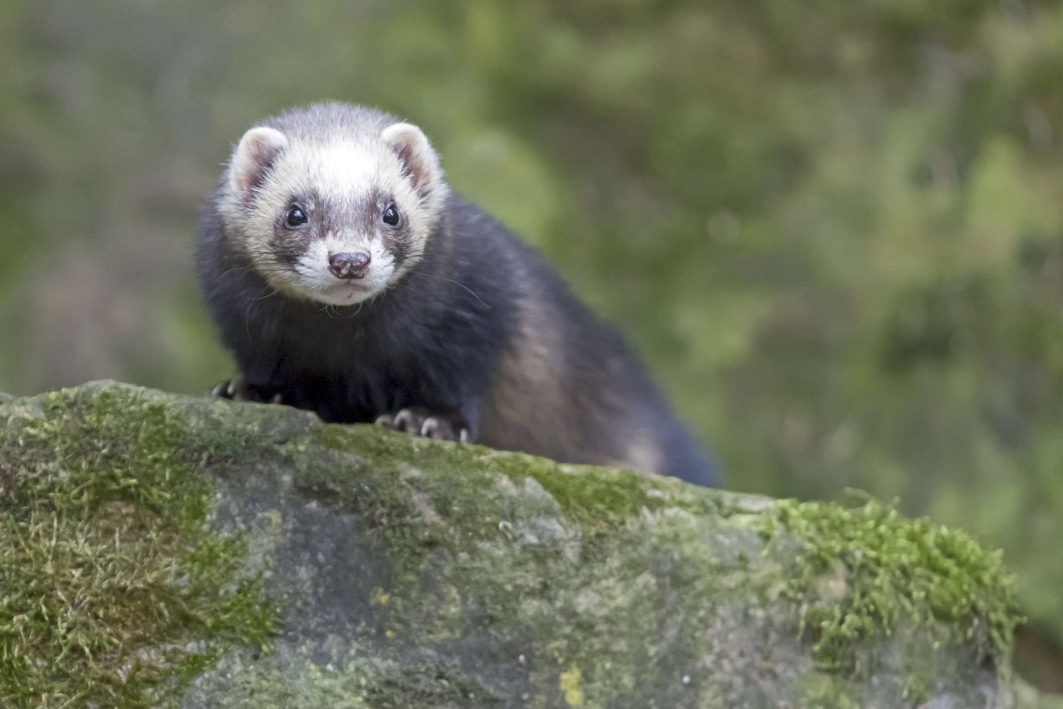 Black sable ferret on a mossy rock