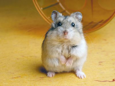 How To Tell A Male Hamster From A Female
