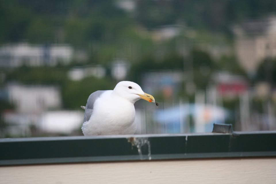 White Bird on a Roof
