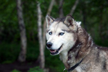 Siberian Husky Dog Breed Profile