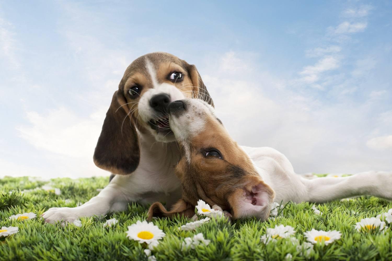Beagles Playing