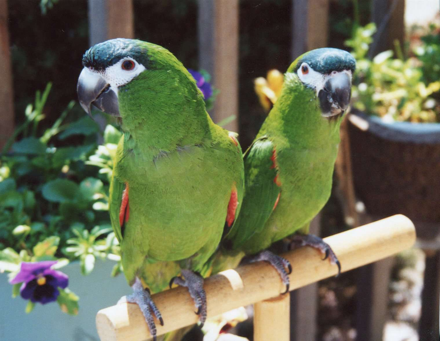 Two green Hahn's macaws sitting on a ledge.