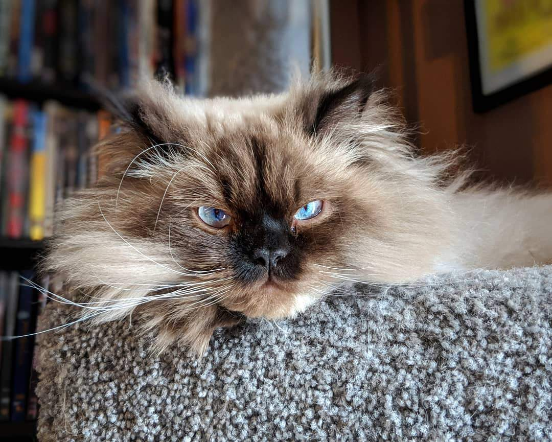 A grumpy looking Persian cat with blue eyes.