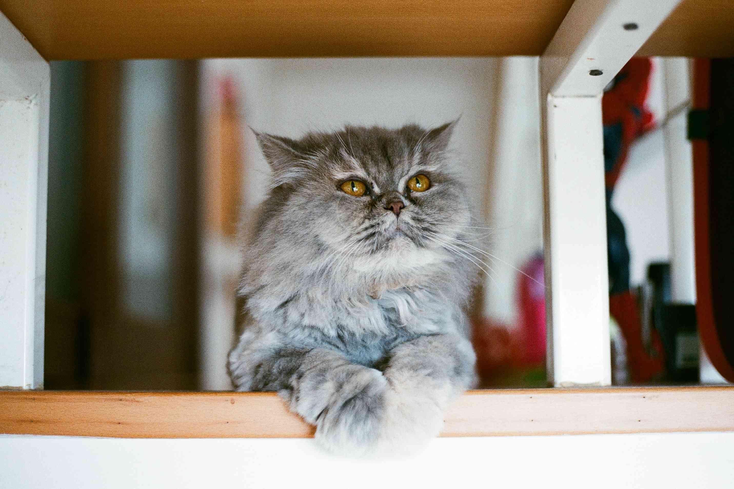 Gato persa gris atigrado sentado en estante