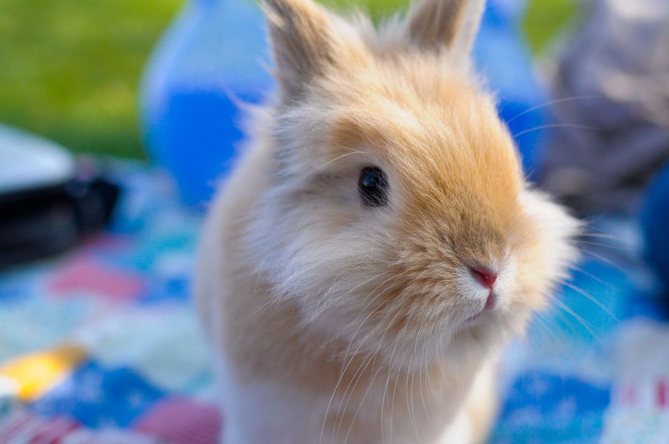 Close up of a dwarf rabbit