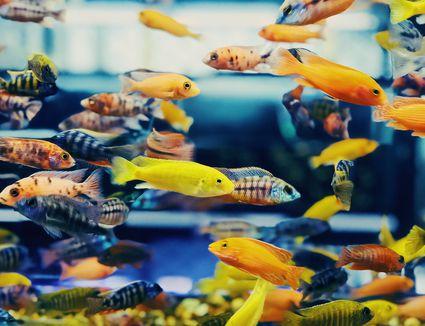 Close-up at Colorful Tropical Fish in Tank Aquarium, Thailand