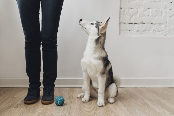 Smart Puppy Looking at Owner