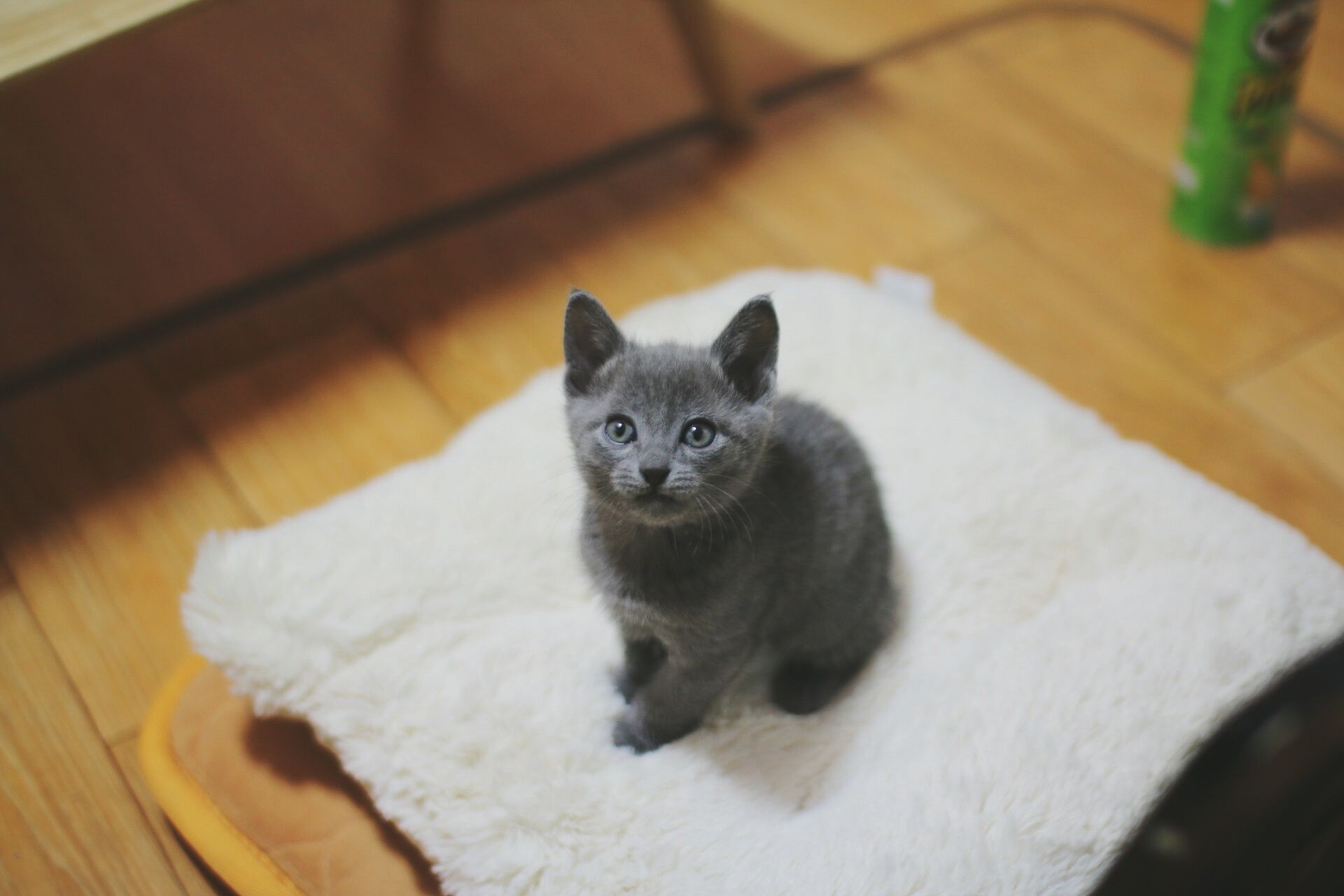 Gray Chartreux kitten on pillow