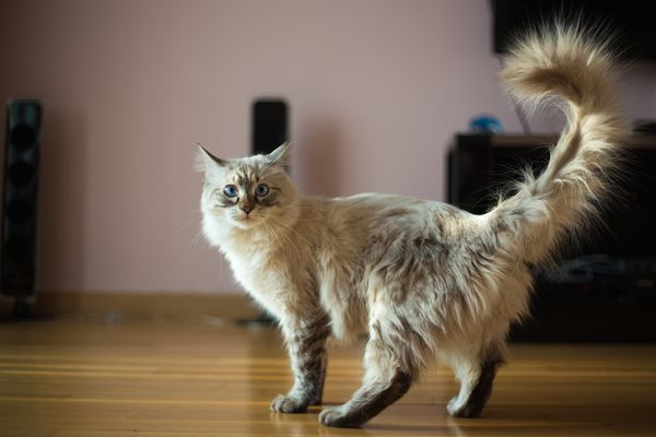 Cat with tail in the air