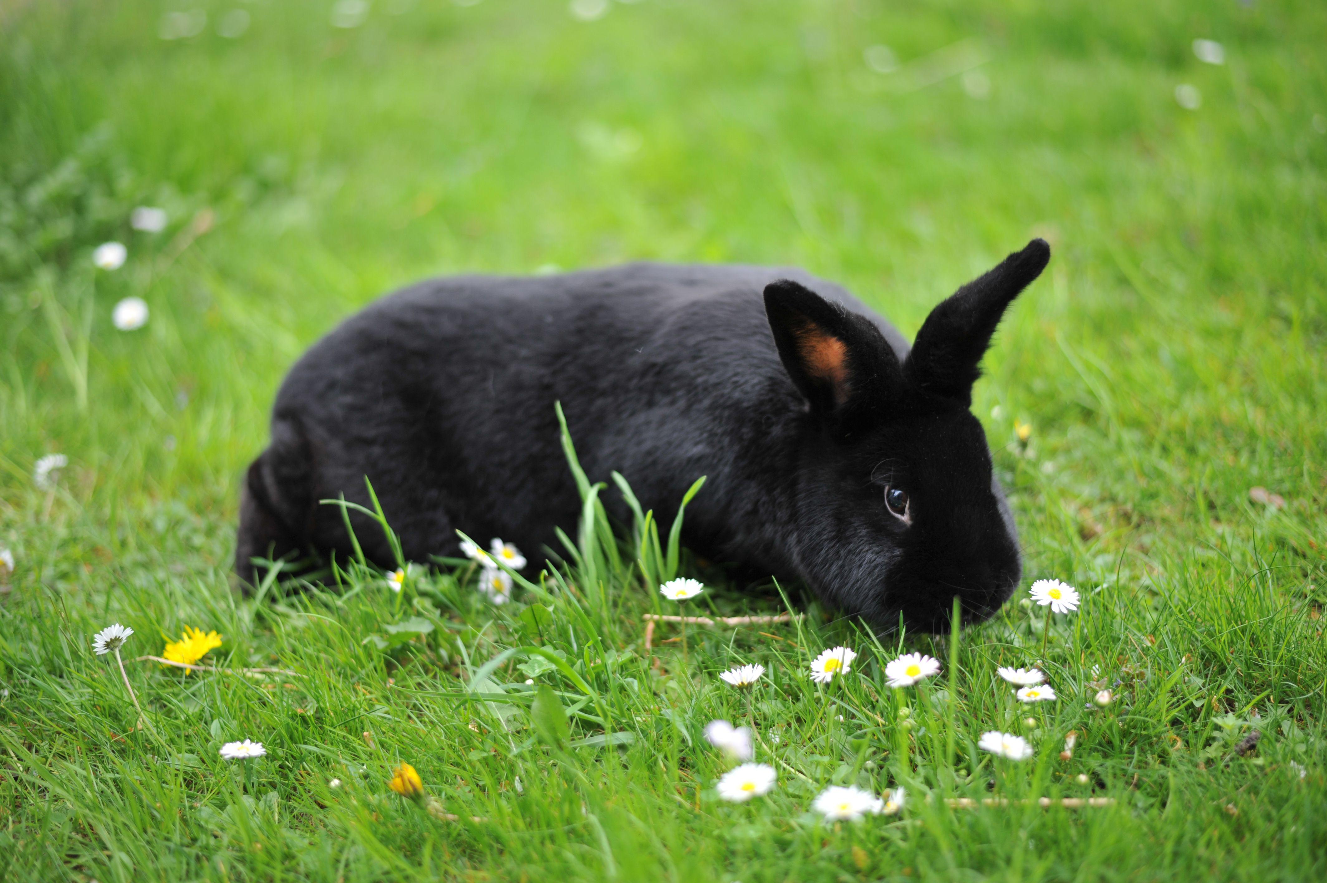 Alaska rabbit