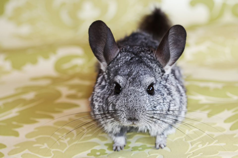 Chinchilla on a flat surface