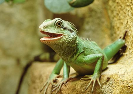 How to Care for a Chinese Water Dragon