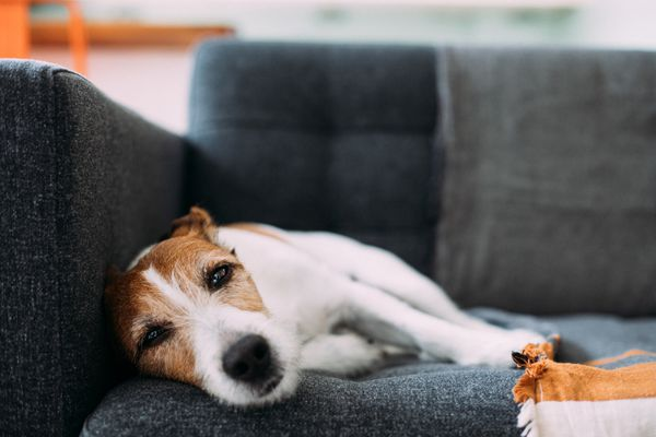 Jack Russell terrier laying on side on grey couch.