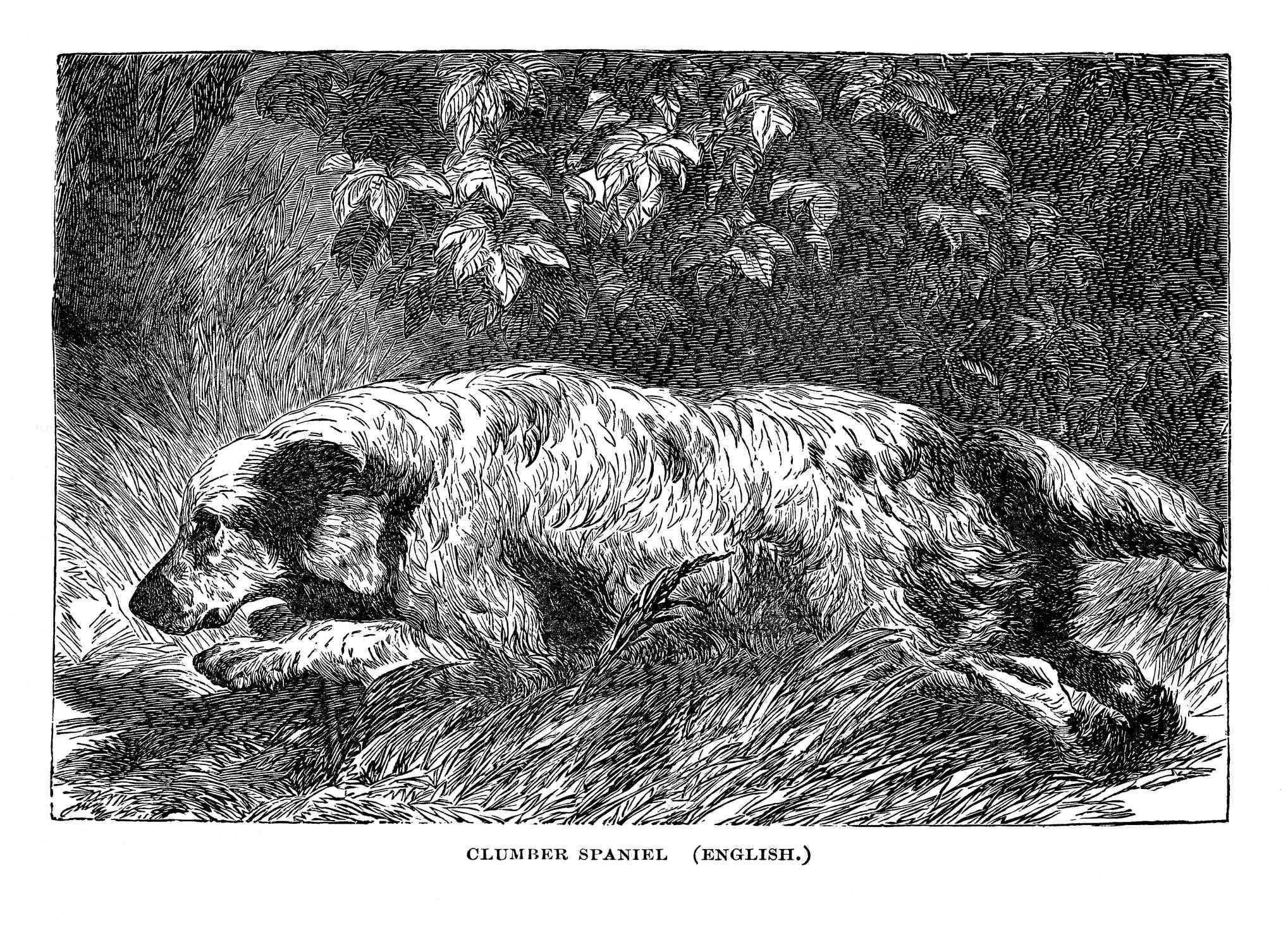 Ilustración en blanco y negro de la caza de Clumber Spaniel