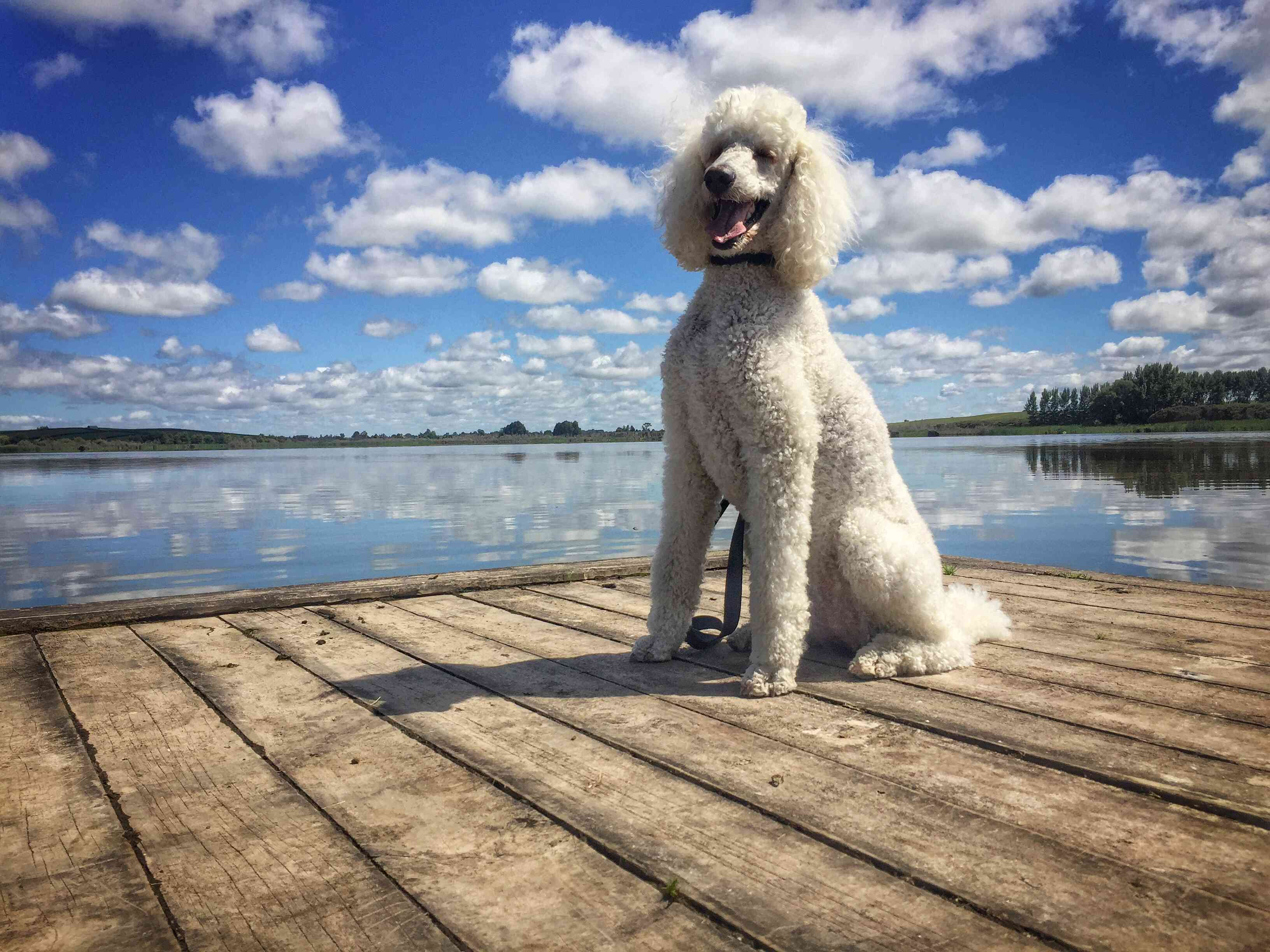 A poodle sitting on a dock