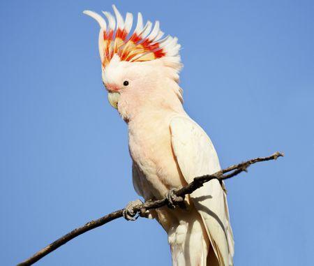 Major Mitchells Cockatoo Bird Species Profile - Parrot key car show