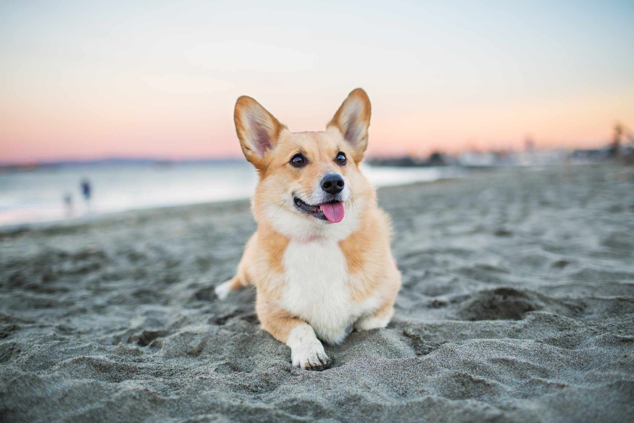 Pembroke Welsh Corgi lying on sand on a beach