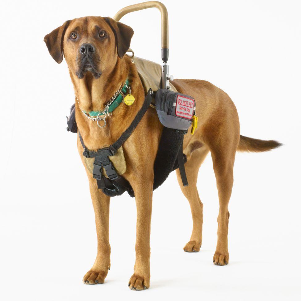 Guide Dog Photo - Service Dog