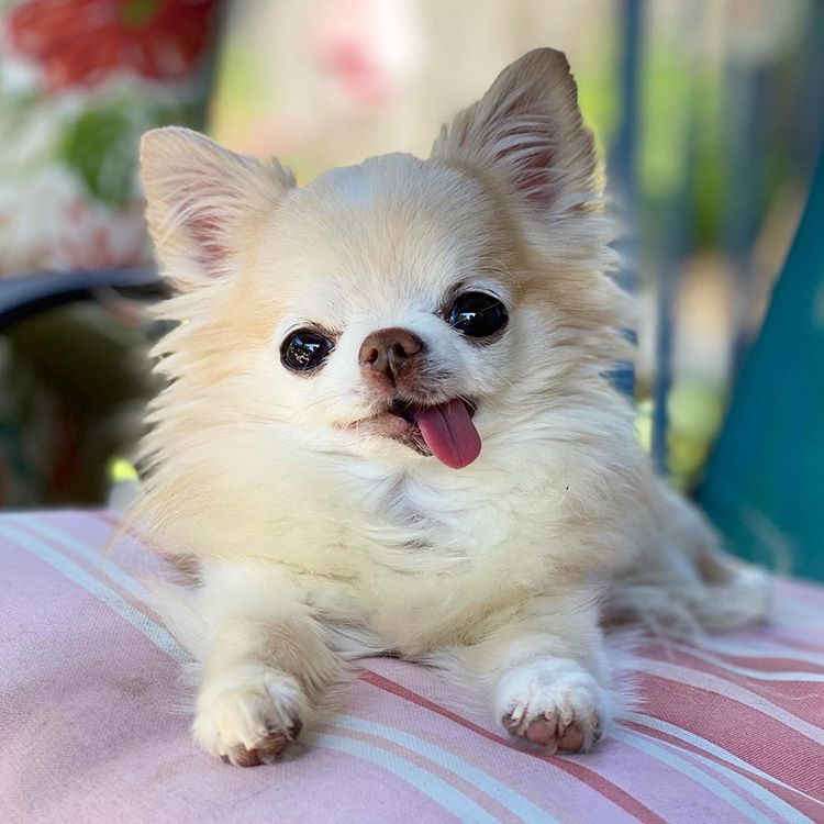 A fluffy white chihuahua with his tongue out.