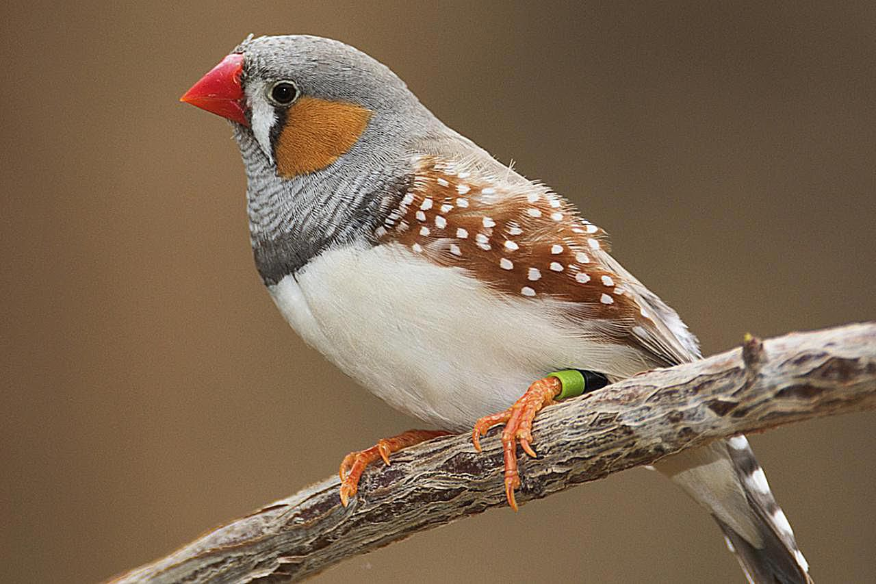 A zebra finch perched on a branch