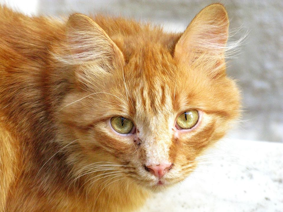 An aging orange tabby with black spots