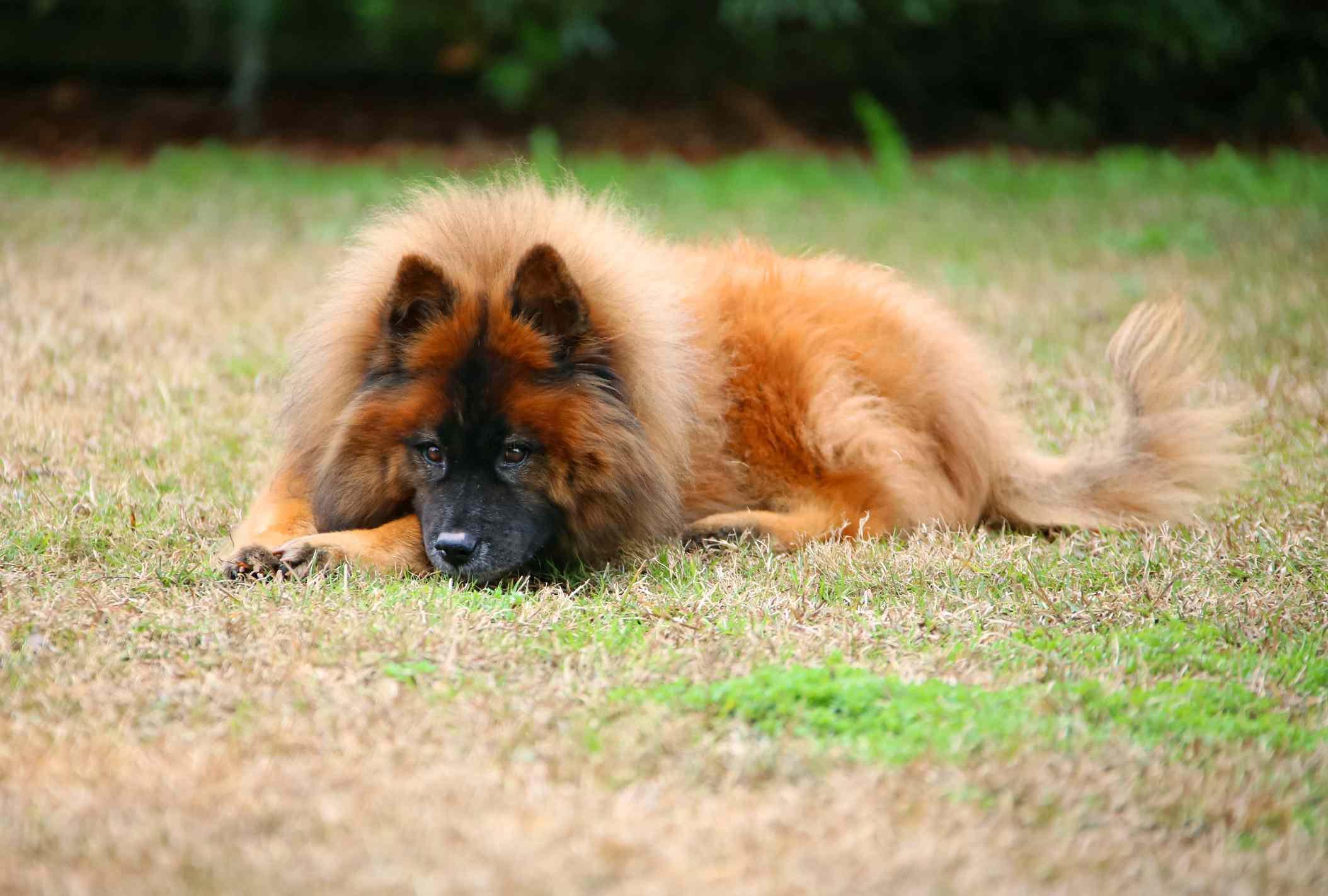 Eurasier dog lying down