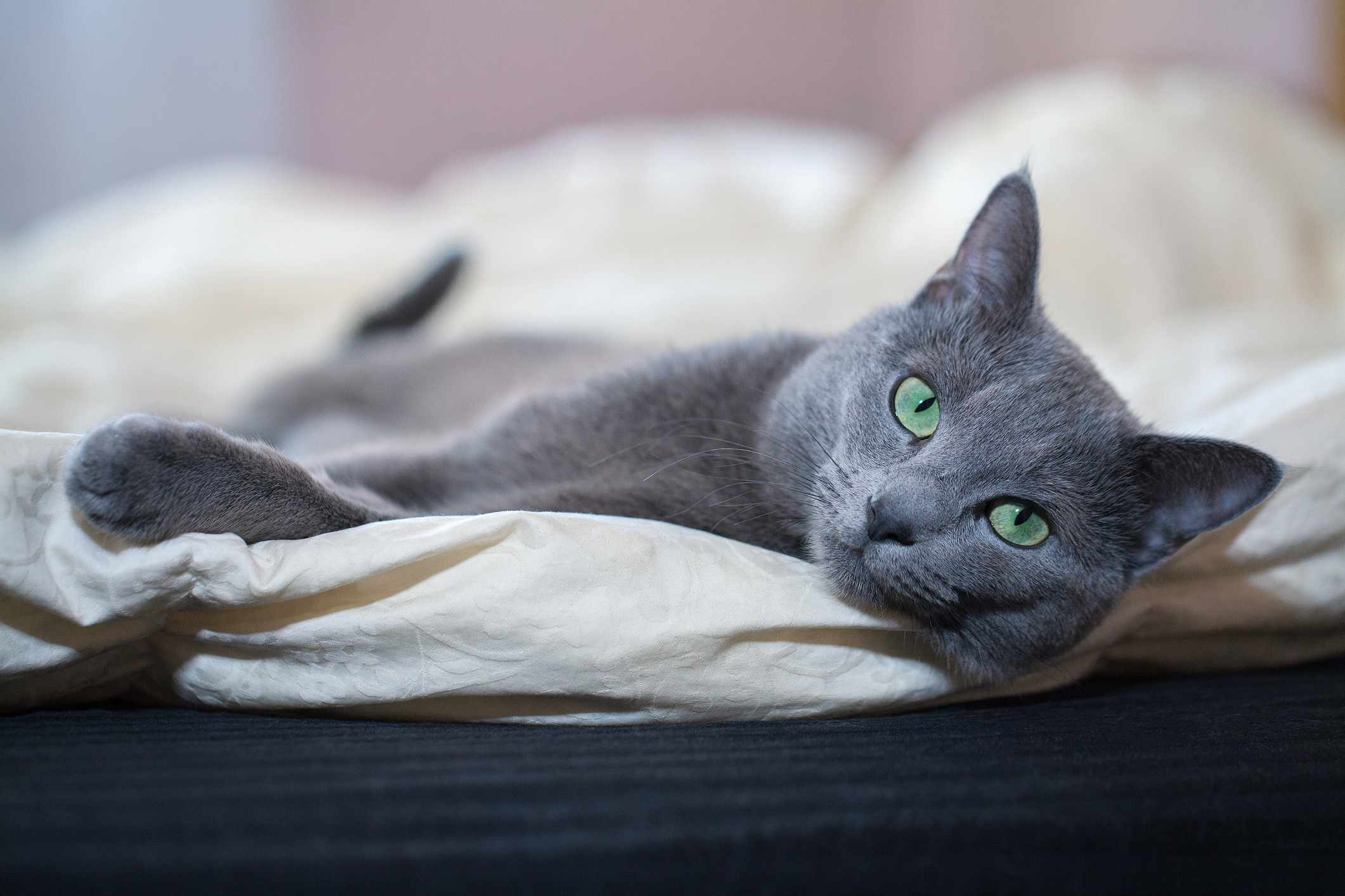A gray cat with green eyes lounging on a sheet.