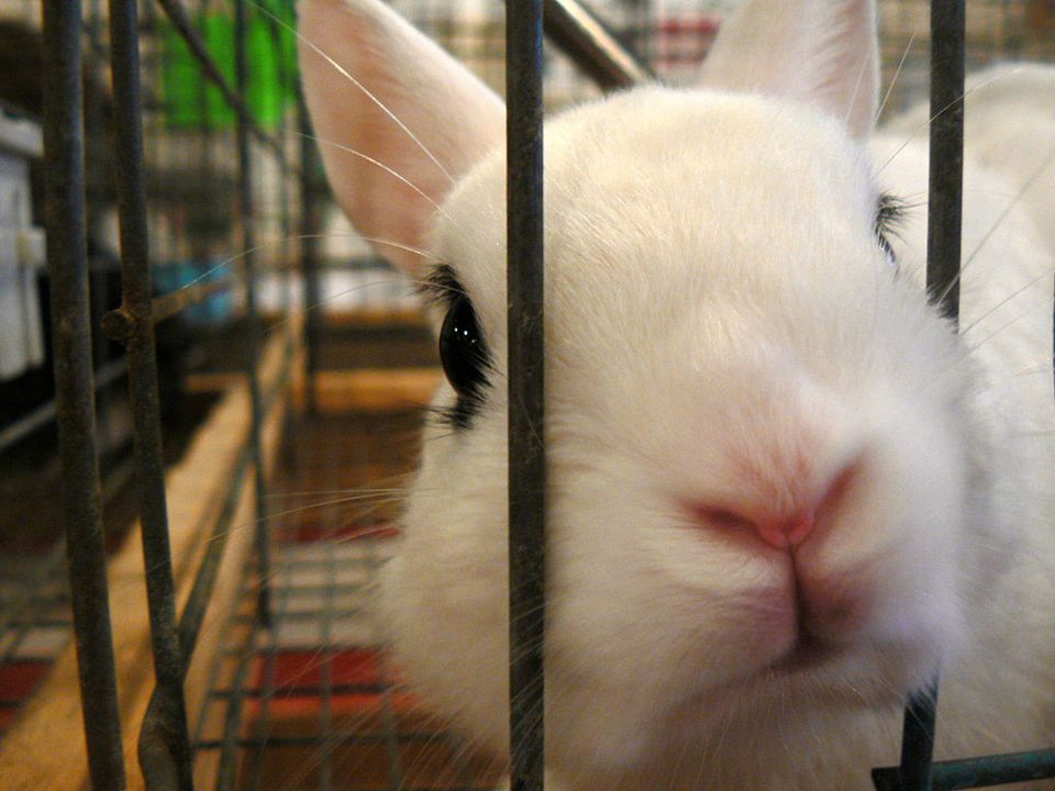 Rabbit poking nose through cage bars