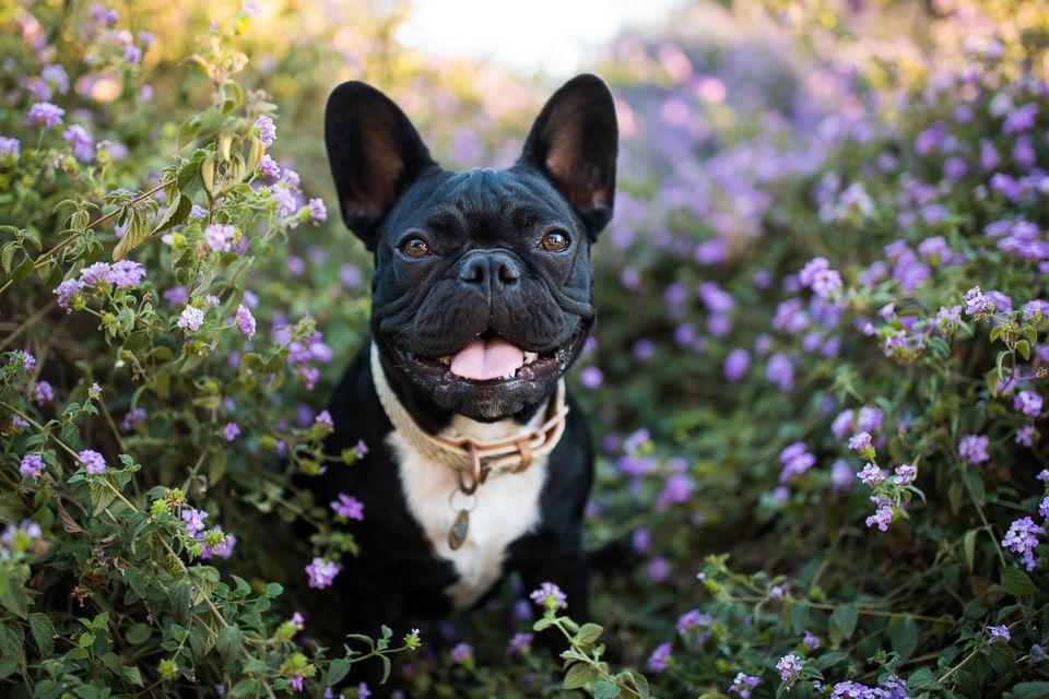 French bulldog sitting in garden of purple flowers