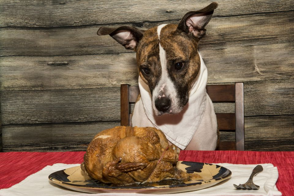 dog looking at turkey