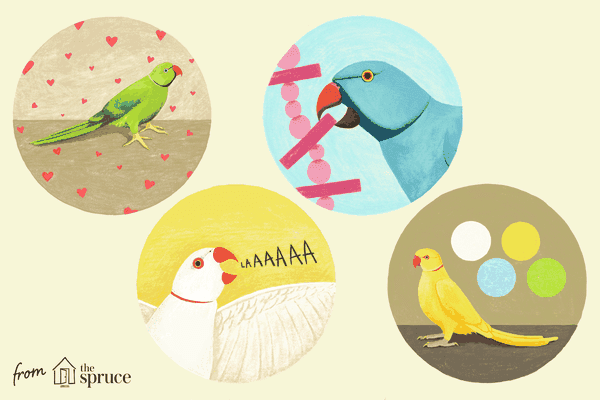 facts about indian ringneck parakeets illustration