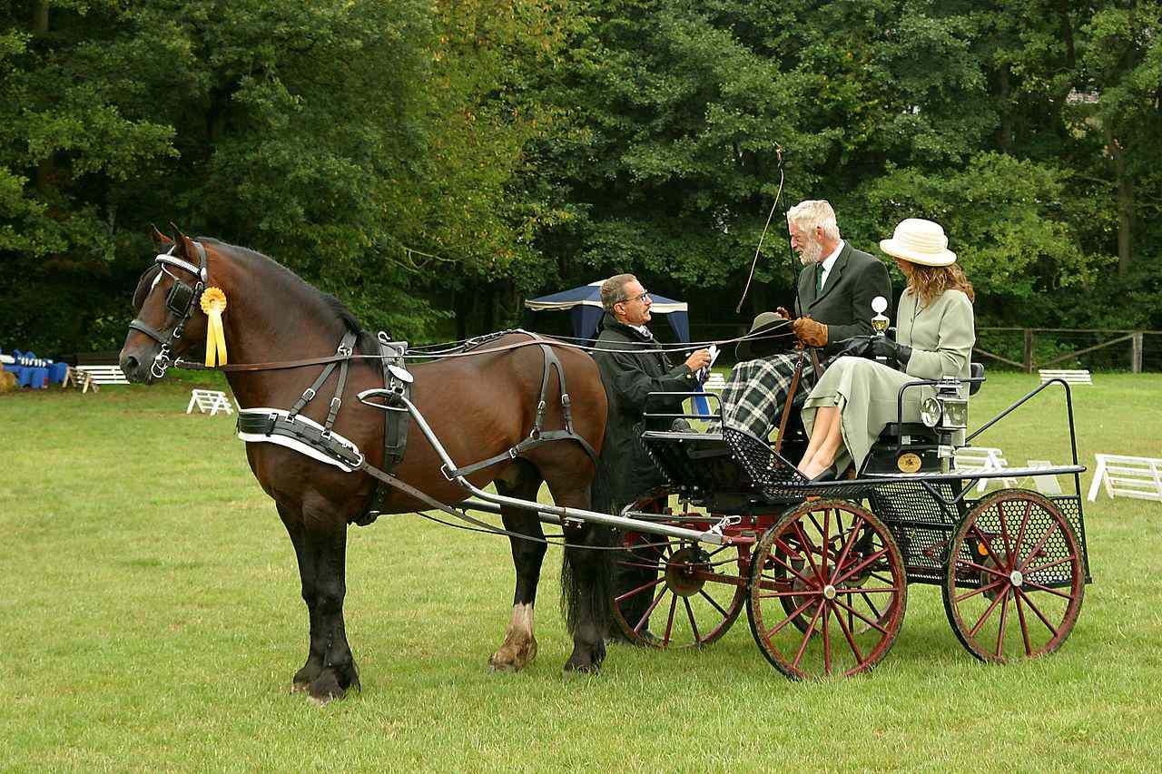 Un pony galés está unido a un vehículo.
