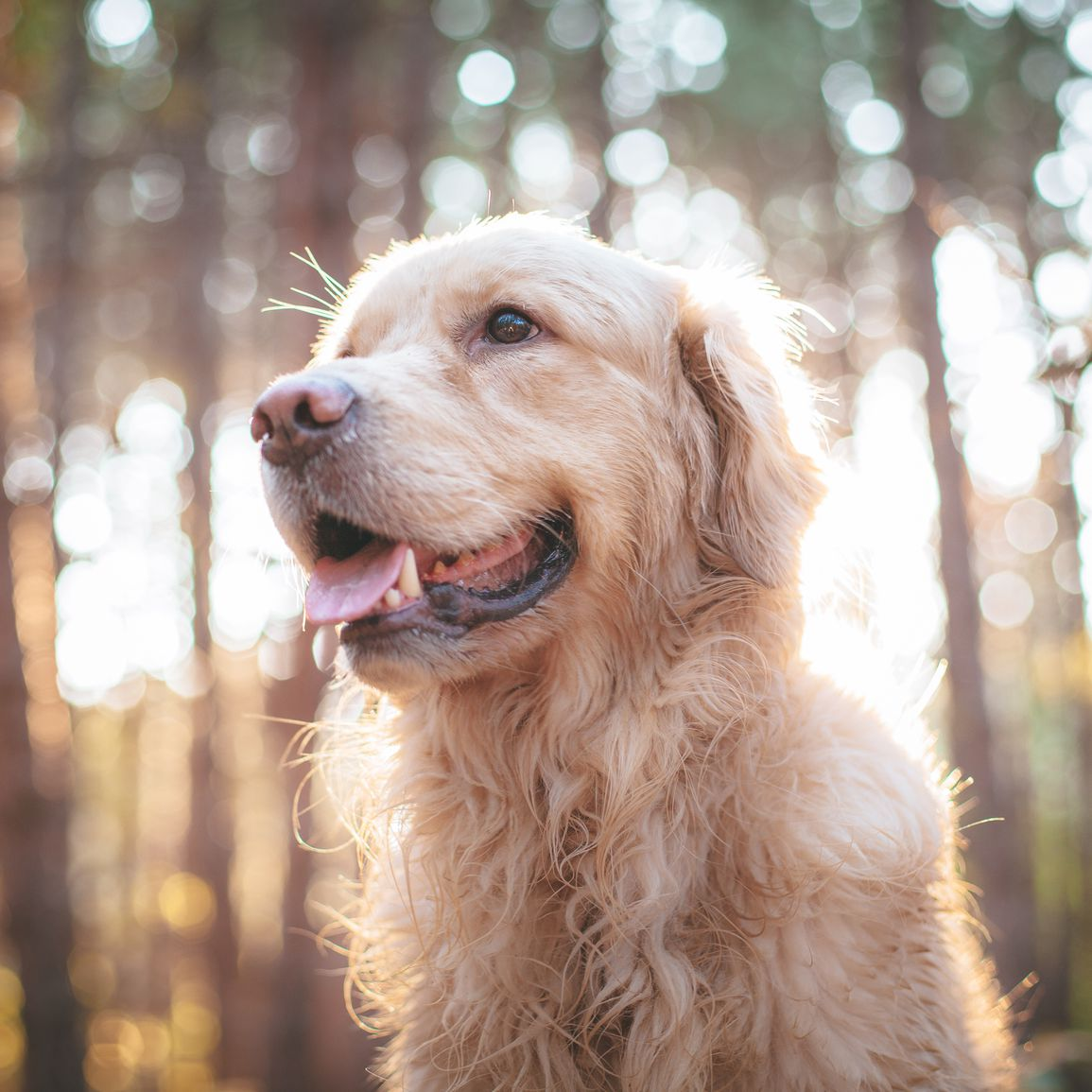 How to Identify and Treat Senior Dementia in Dogs