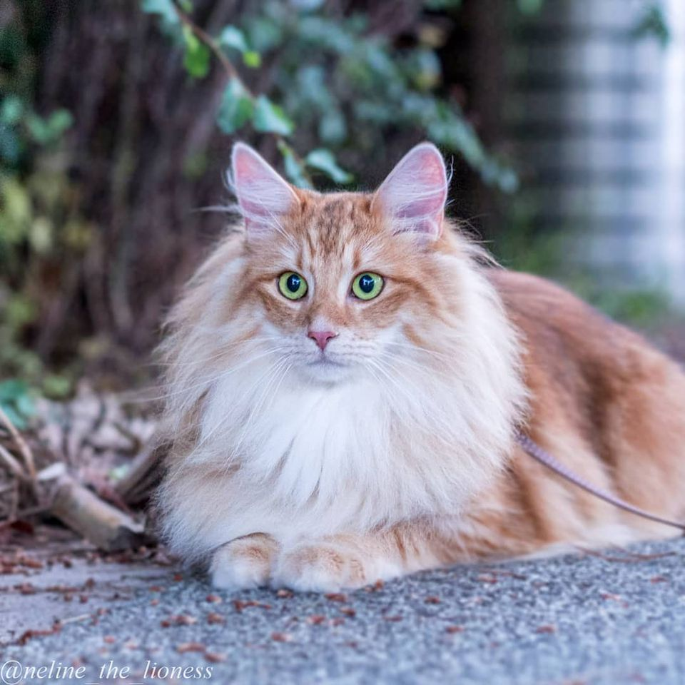 An orange and white Norwegian Forest cat sitting outside