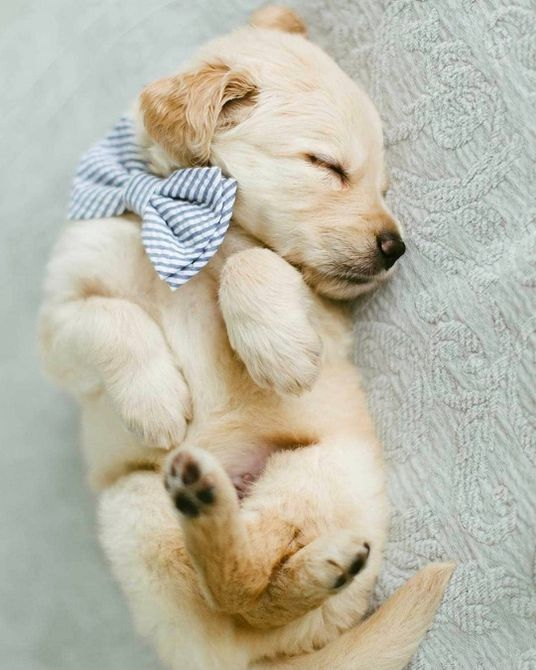 Cachorro Golden retriever acurrucado mientras duerme