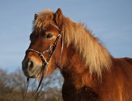 Shetland pony, chestnut gelding, bitless bridle