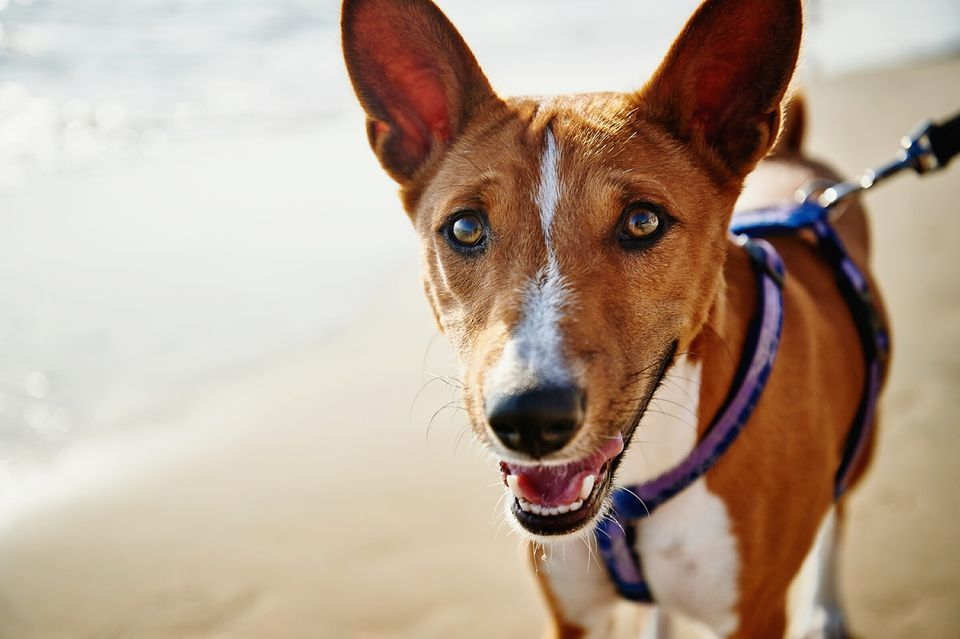 Basenji in purple harness and leash standing on beach.