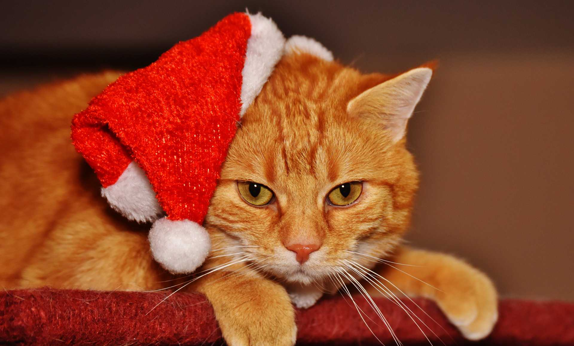 cat wearing santa hat