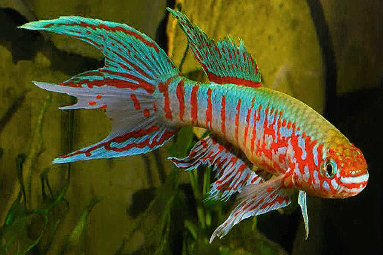 Red-striped Blue Gularis (Aphyosemion sjoestedti) swimming in a tank.