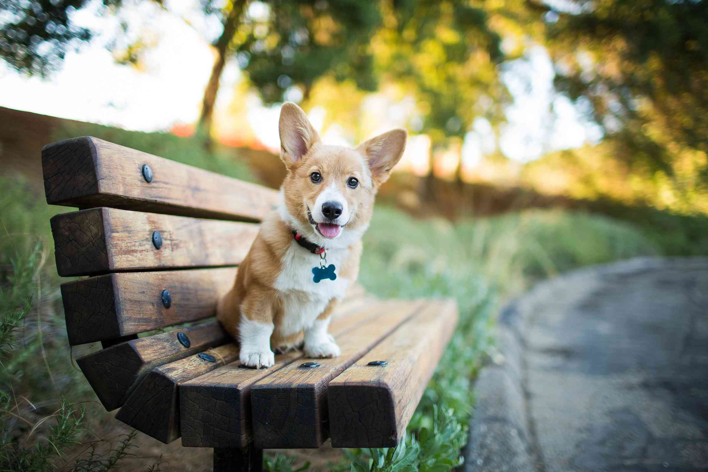 corgi sitting and smiling on a bench